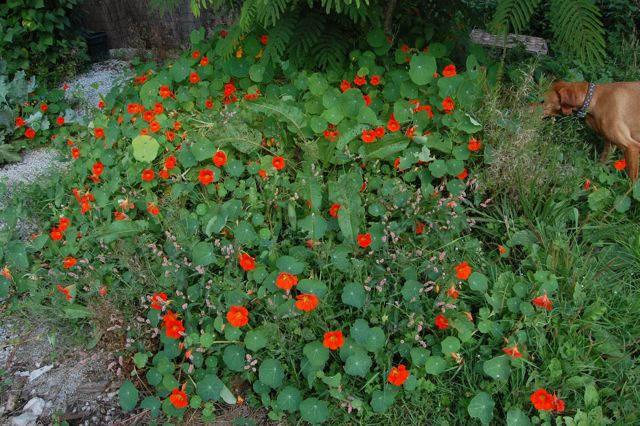 Nasturtium 'Scarlet Munchkin' & some carefully placed docks.