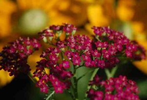 Achillea 'Cerise Queen'. The Hot Biscuit In The 2015 Cut Flower Gardens Of The Chic.
