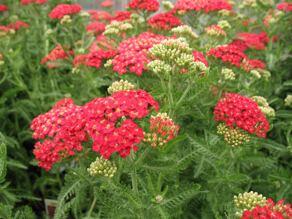 Achillea 'Cerise Queen' The Hot Biscuit In The 2015 Cut Flower Gardens Th