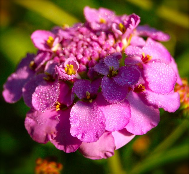 Candytuft 'Crown' comes in whites, pinks & purples.