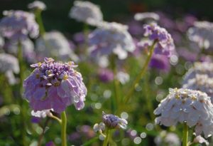 Candytuft Crown Hanging out at Higgledy