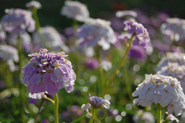 Candytuft 'Crown' Hanging out at Higgledy