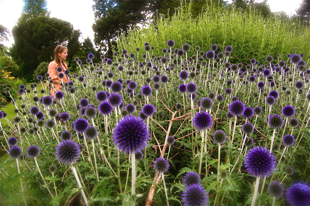cutting garden echinops flower