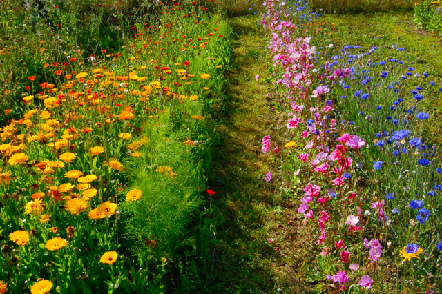 Cornflowers In The Higgledy Garden