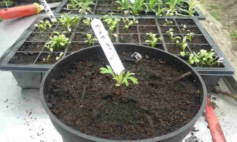Didiscus-seedling