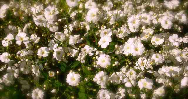 Gypsophila 'Covent Garden'