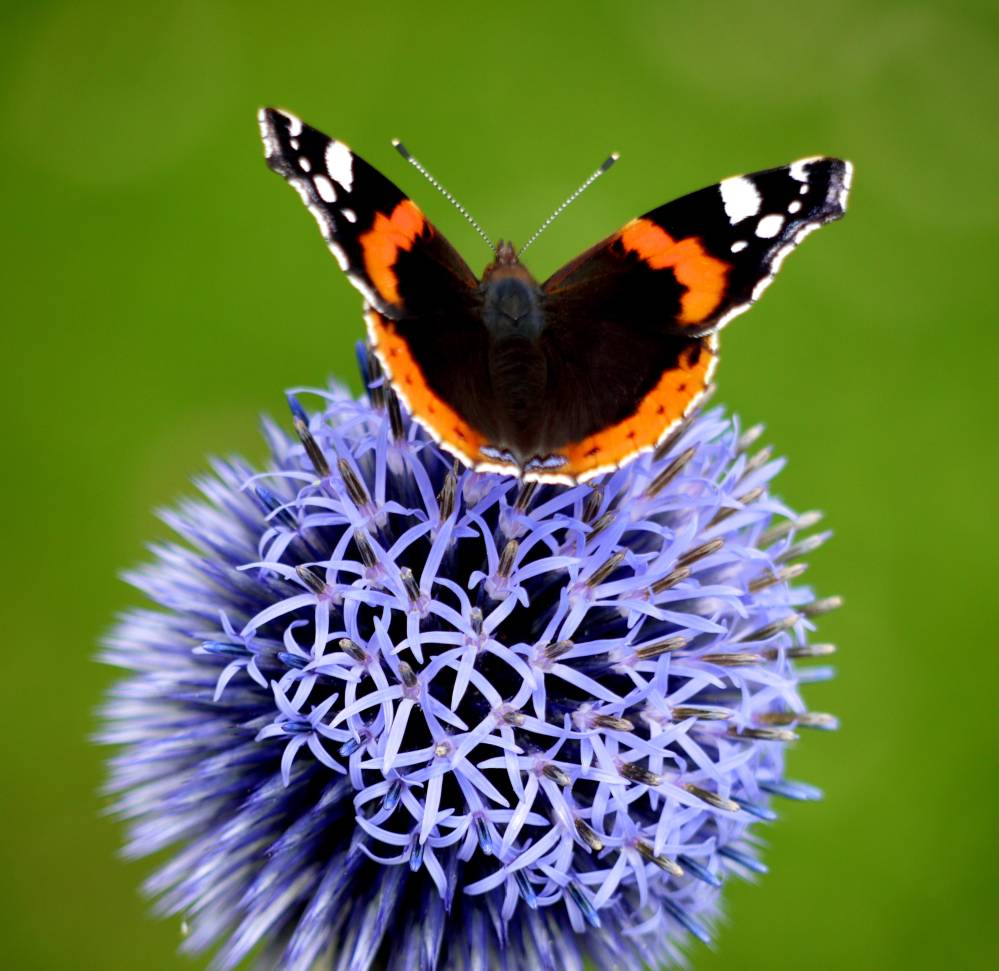 Red Admiral on Echinops. (3) sm