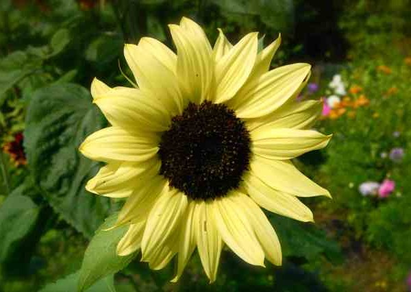 Sunflower-Valentine