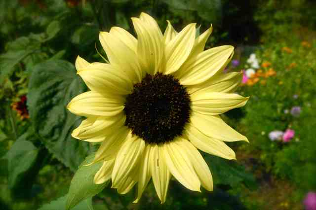 This spleniferous sunflower is a btanching type...so plenty of blooms...