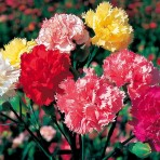 Carnation 'Formula Superb'.
