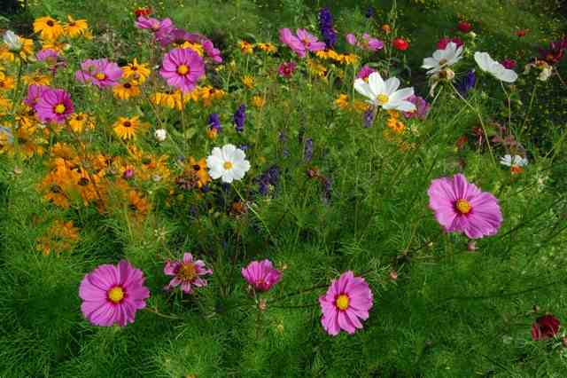 Cosmos 'Sensation' (with our chum 'Marmalade' in the background....the white cosmos is 'Purity')