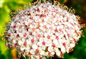 didiscus-flower
