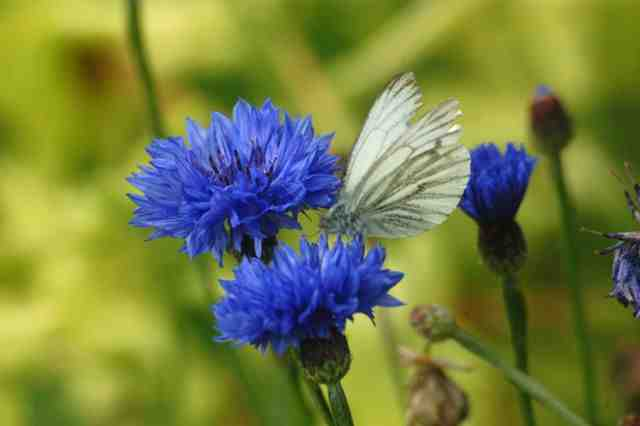 Cornflower 'Blue Ball'...a cutting garden without this is bad luck. (I made that up)