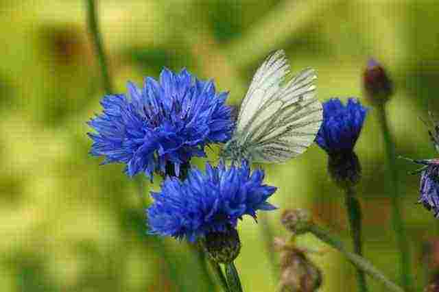 Cornflowers 'Blue Ball'.