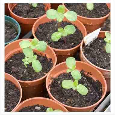helenium seedling