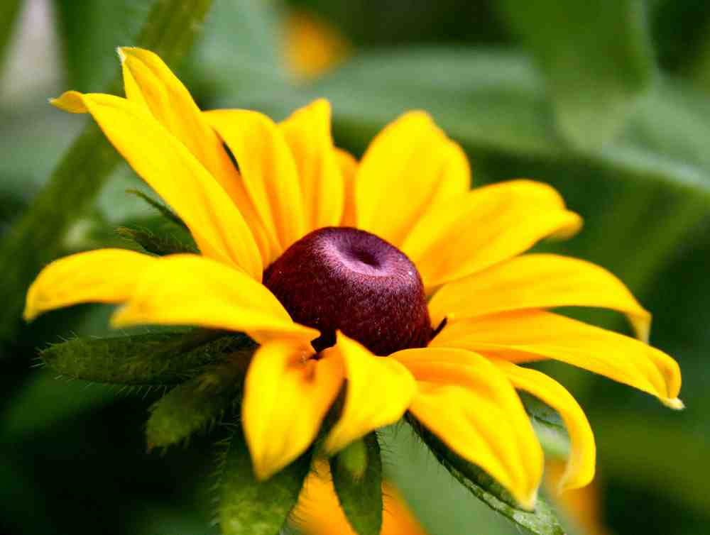 If you don't think this flower is beautiful then your eyes have fallen out. Rudbeckia 'Marmalade'