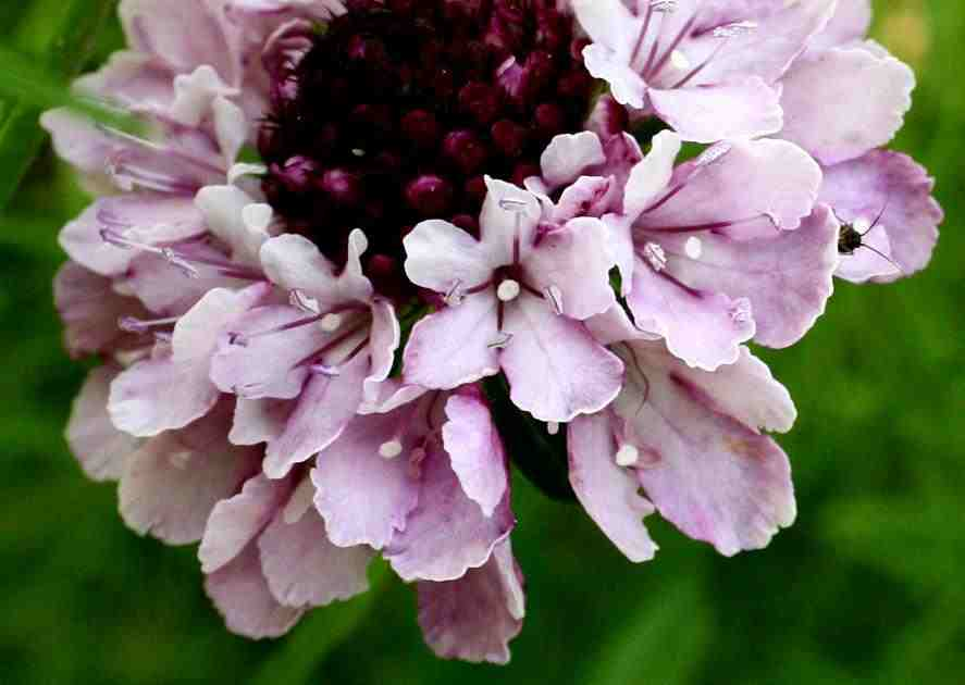 scabiosa-crown-mix