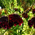 Scabiosa. Pincushion Flower. 'Back In Black'.