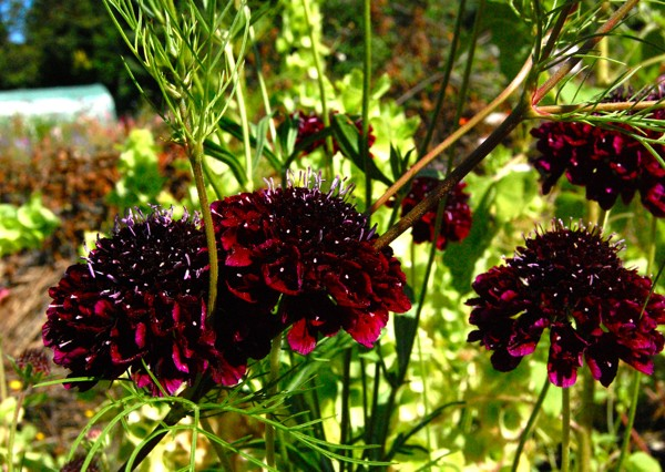scabious-back-in-black