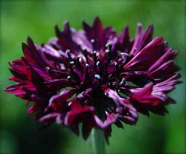 Cornflower 'Black Ball'.