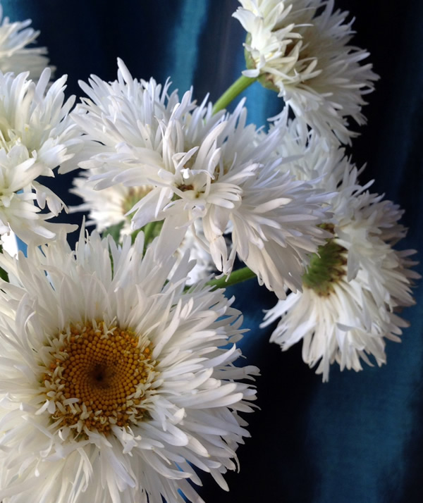 Chrysanthemum 'crazy daisy'