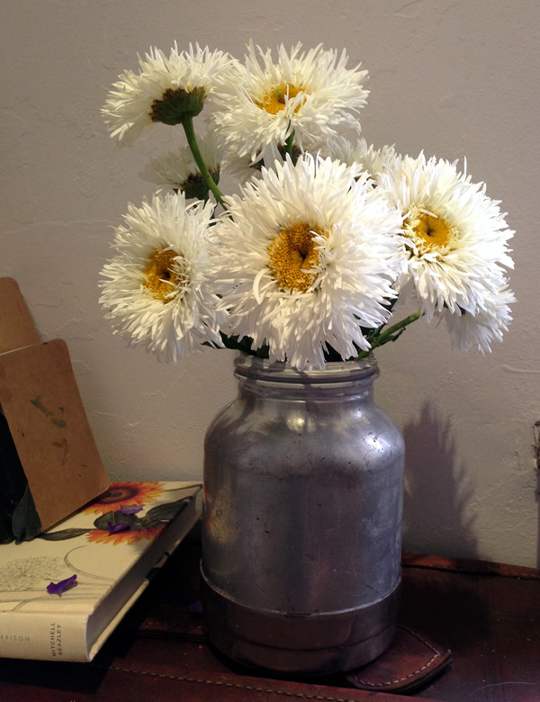 Chrysanthemum x superbum 'crazy daisy'