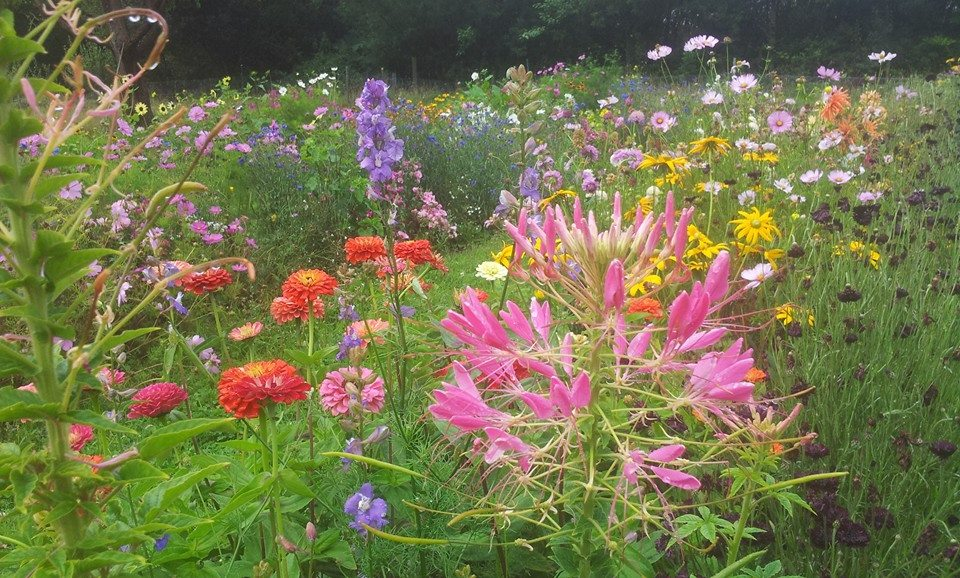 Cleome in the Higgledy patch last year.