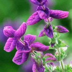 Salvia viridis 'Monarch'
