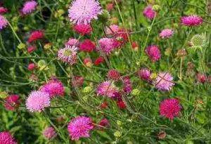 Growing Knautia From Seed For Your Cut Flower Garden.