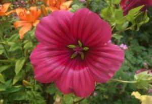 Malope Trifida Vulcan (Image credit Hidcote Garden)