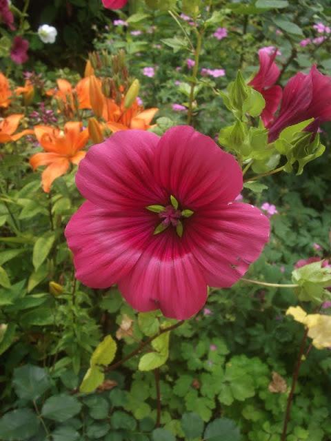 Malope Trifida 'Vulcan' (Image credit Hidcote Garden)