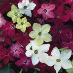 Nicotiana 'Sensation'. New For 2014.