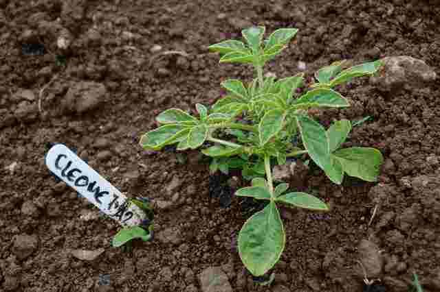 Cleome-Seedling