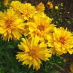 Coreopsis Grandiflora. 'Sunray'.
