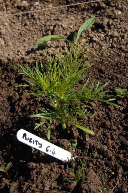 Cosmos-seedling