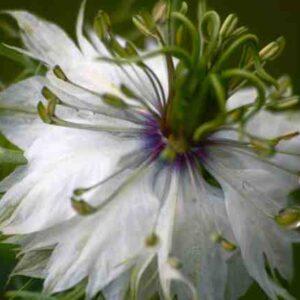 Nigella-white