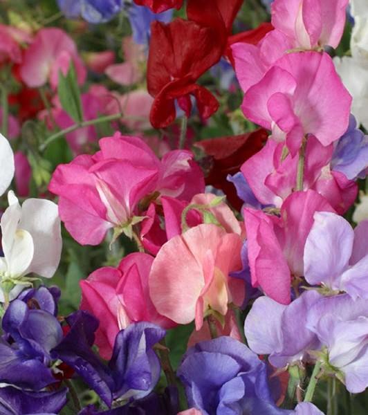 Perfume Delight Sweet Peas_thumb[1]