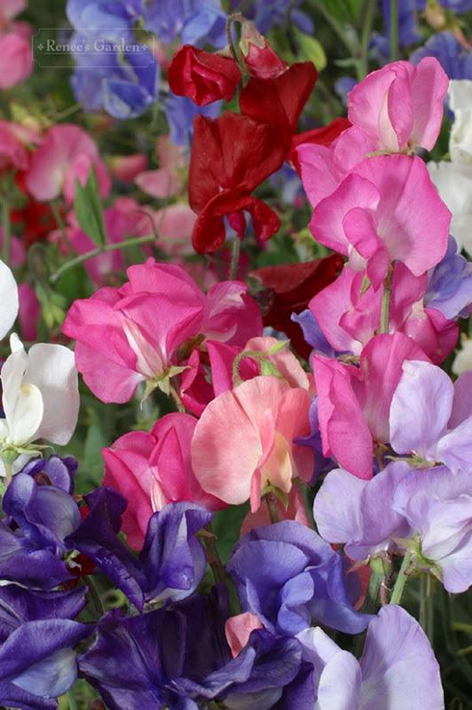 'Perfume Delight' Credit: Rene's Garden.