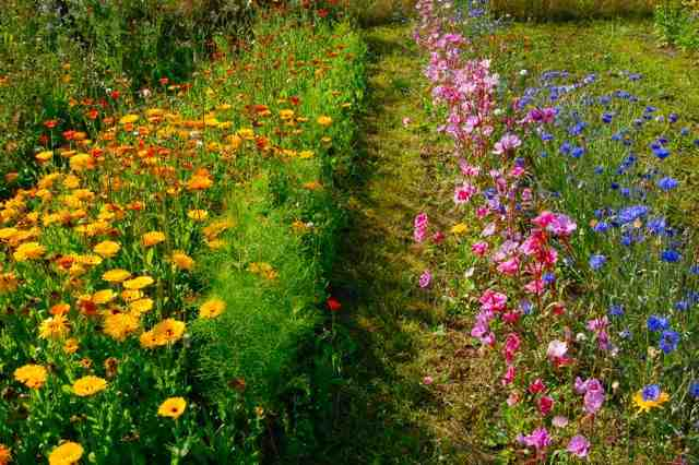 Yee Olde Higgledy Allotment Many Moons Ago. Calendula, Godetia & Cornflowers Looking Saucy.