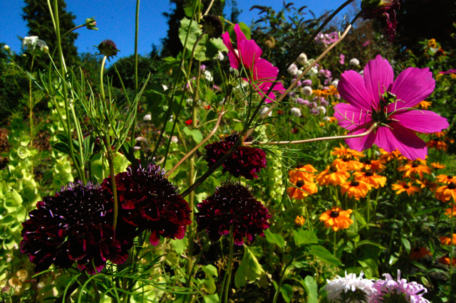 Scabiosa, Cosmos & Rudbeckia lounging about lack slack teenagers.