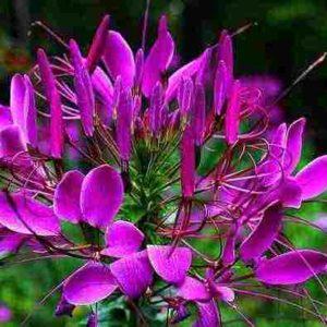 cleome-seeds