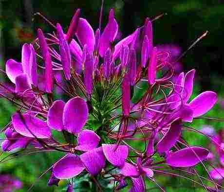 Cleome 'Violet Queen'.