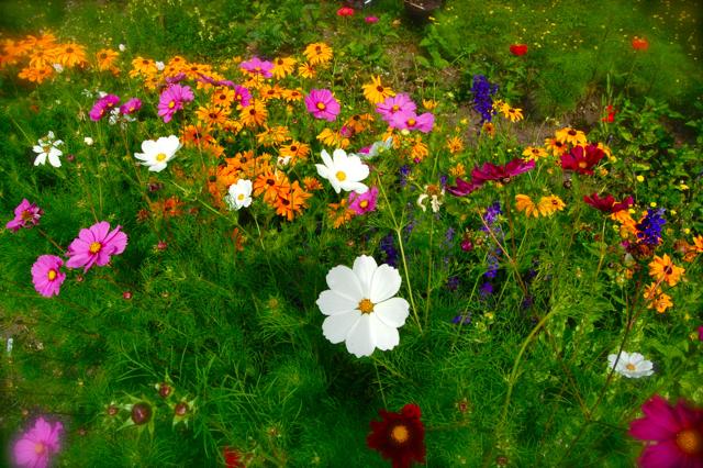 Cosmos & Rudbeckia Loitering At Higgledy Garden....Slackers.