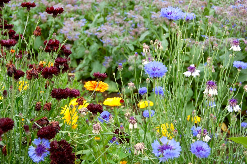'Black Ball' & 'Blue Ball' Cornflowers doing their thing at asmallholding.blogspot.com