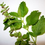 Lemon Balm. Melissa Officinalis.