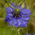 Nigella. Love in the Mist. Miss Jekyll, Dark Blue.