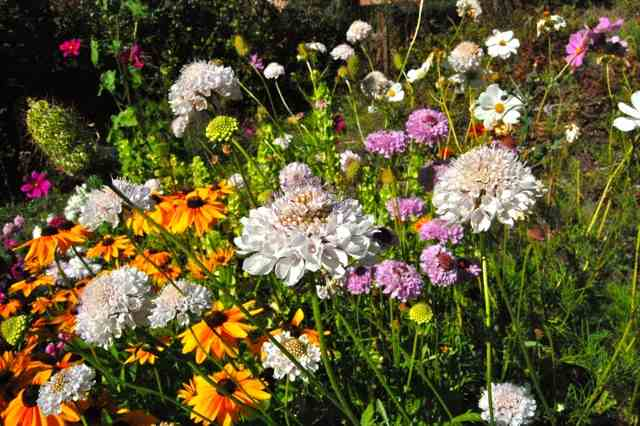 Scabiosa 'Crown' with Rudbeckia 'Marmalade' getting in on the action...
