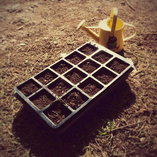 Sowing Tithonia today...that is the only watering can I could find....hummmm