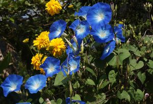 Ipomoea Heavenly Blue. Credit: latin-wife.com (No I didnt make that up)
