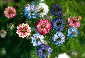 Nigella damascena. 'Persian Jewels' & 'Oxford Blue'.